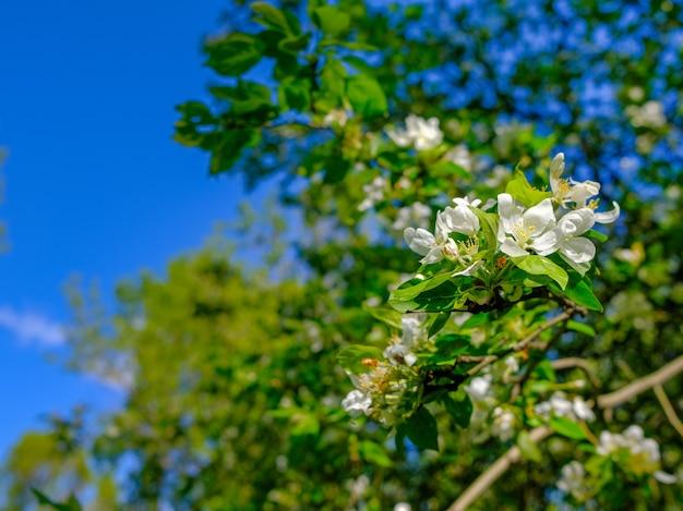 Białe, delikatne kwiaty jabłoni na gałęzi na tle błękitnego nieba
