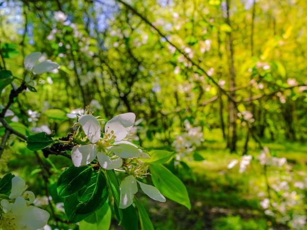 Białe delikatne kwiaty jabłoni na gałęzi słoneczny ciepły wiosenny dzień