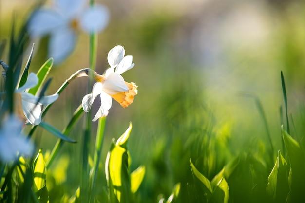 Białe, delikatne kwiaty narcyzów kwitnących w wiosennym ogrodzie.