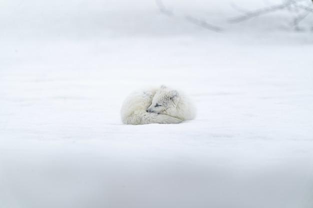 Białe, długowłose zwierzę na ziemi pokrytej śniegiem