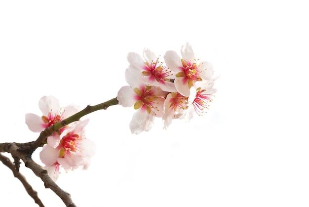 Białe drzewo migdałowe różowe kwiaty z gałęzi na białym tle