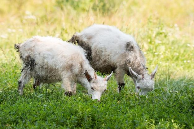 Białe dziecko koza na zielonej trawie w słoneczny dzień