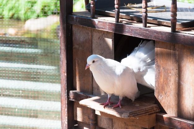 Białe gołębie siedzą w oknie swojego drewnianego domu.