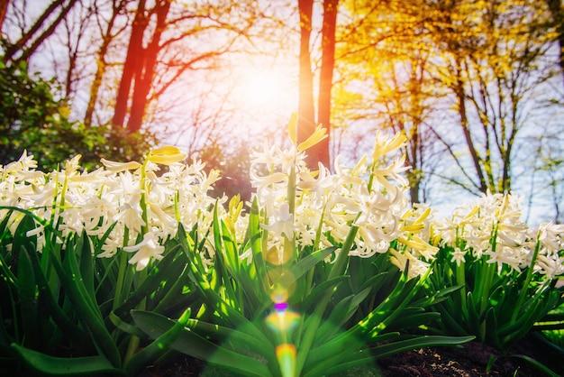 Białe hiacynty w ogrodzie.