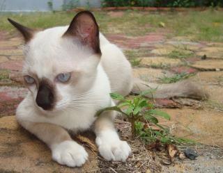 Białe i czarne koty birmańskie, kot