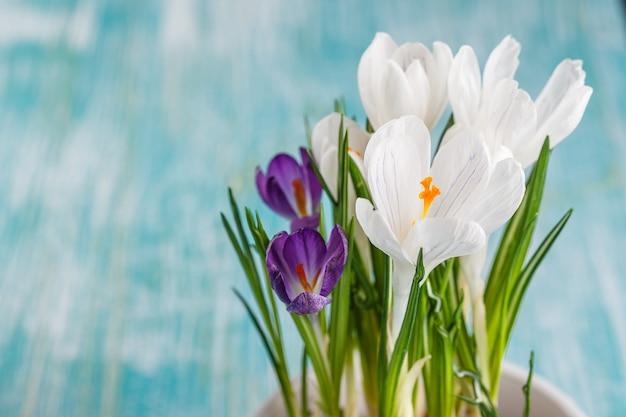 Białe i fioletowe krokusy kwiaty w białej doniczce