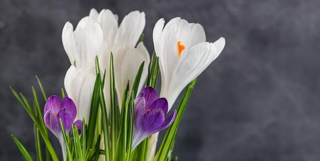 Białe i fioletowe kwiaty krokusów