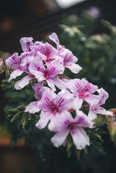 Białe i fioletowe płatki kwiatów z kroplami deszczu