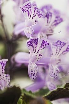 Białe i fioletowe płatki świeżego kwiatu