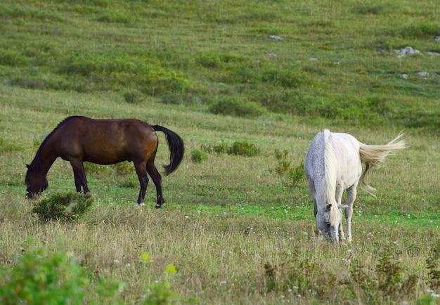 Białe i gniady zwierzęta domowe rano wśród traw. ałtaj, syberia, rosja