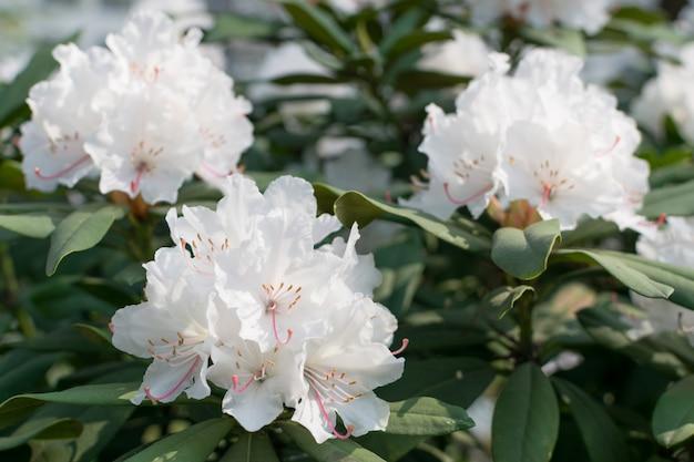 Białe i różowe rododendronowe pseudochrysanthum kwiaty w wiosennym ogrodzie