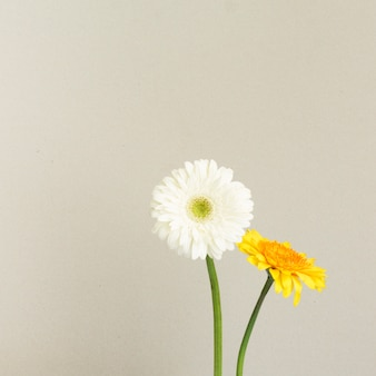 Białe i żółte kwiaty stokrotki