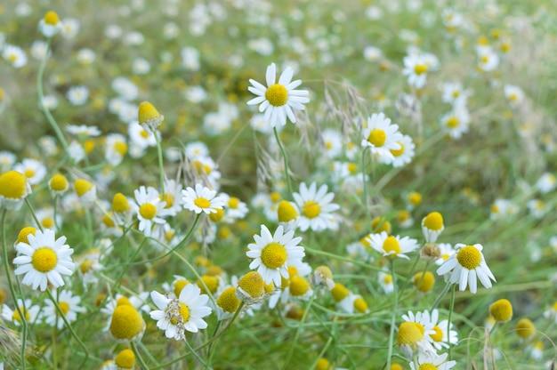 Białe i żółte rumianek stokrotki na łące. . temat dnia matki. dziki rumianek kwitnie na polu. niewielka głębokość pola