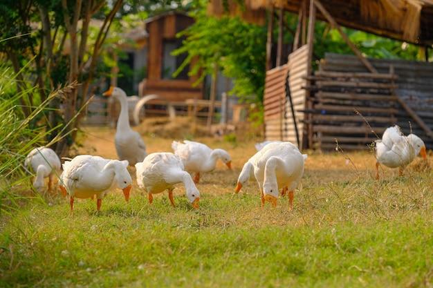 Białe kaczki chodzą po ogrodzie.