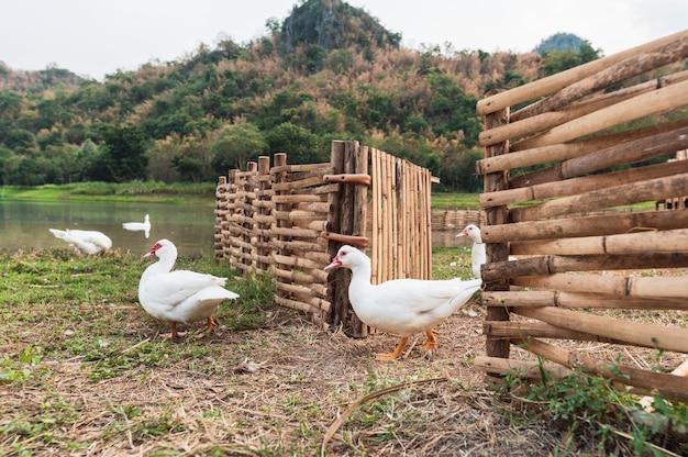 Białe kaczki chodzi z drewnianego kramu