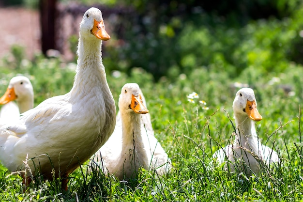 Białe kaczki na zielonej trawie w gospodarstwie rolnym