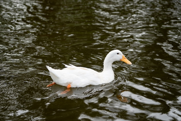 Białe kaczki pływa w rzece rolny rolnictwo