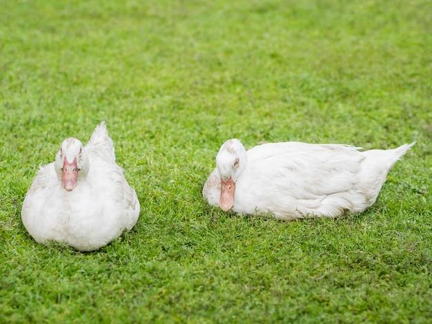 Białe kaczki siedzi na trawie