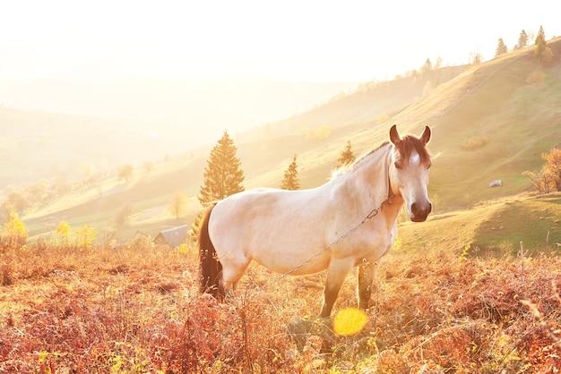 Białe konie arabskie pasą się na zboczu góry o zachodzie słońca w pomarańczowych słonecznych belkach. karpaty, ukraina, europa.