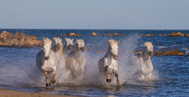 Białe konie camargue galopują wzdłuż morskiej plaży