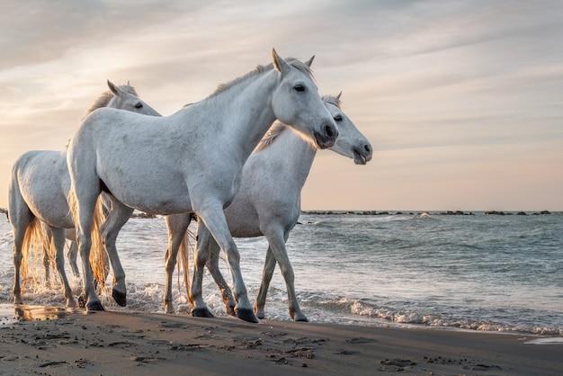 Białe konie na plaży