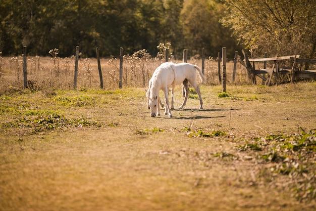 Białe konie na starej farmie