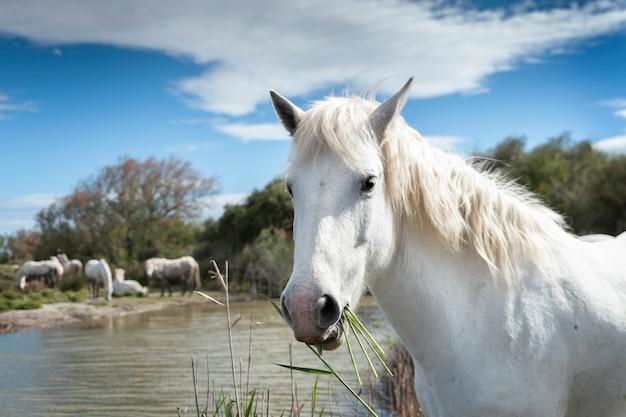 Białe konie w camargue we francji w pobliżu les salines we francji