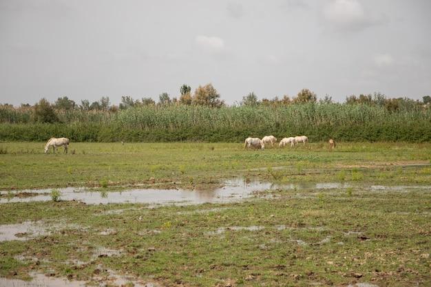 Białe konie w delta del llobregat, el prat, hiszpania