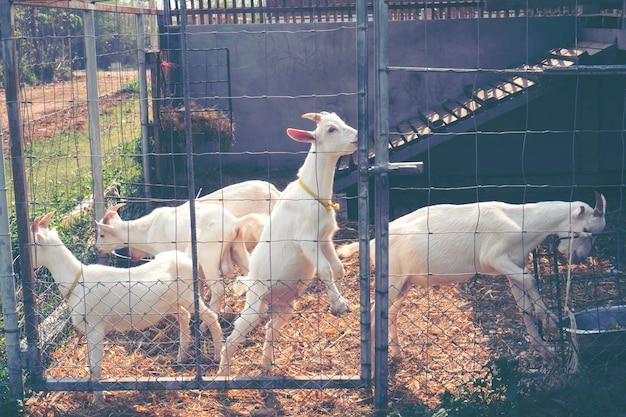 Białe kozy mleczne w gospodarstwie, tajlandia