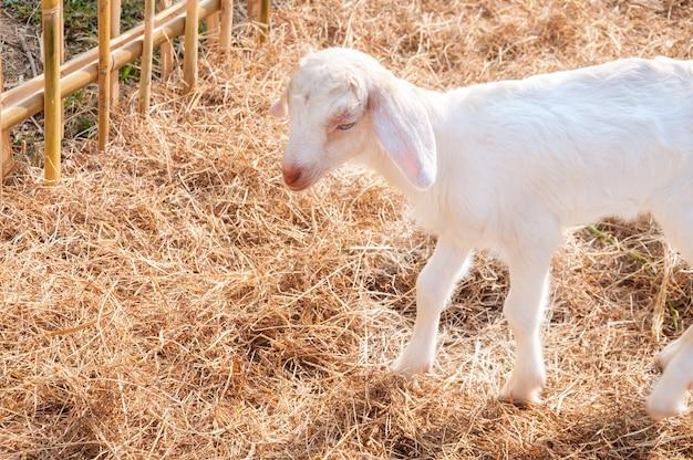 Białe kozy na farmie, baby koza na farmie
