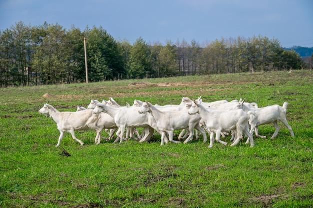 Białe kozy na łące farmy kóz. białe kozy