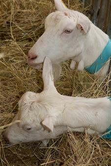 Białe kozy na stogu siana jedzą słomę