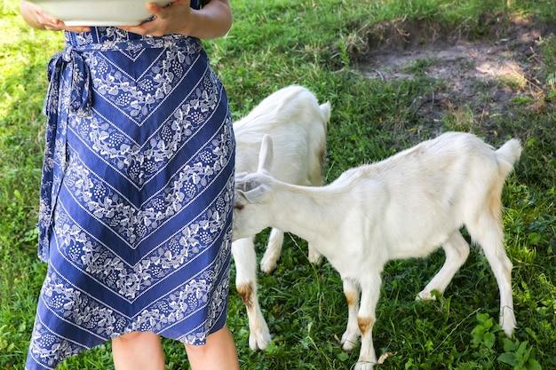 Białe kozy na zewnątrz w pobliżu kobiety. dziewczyna w niebieskiej sukience vintage. rustykalne letnie zdjęcie. wiejska przyroda.