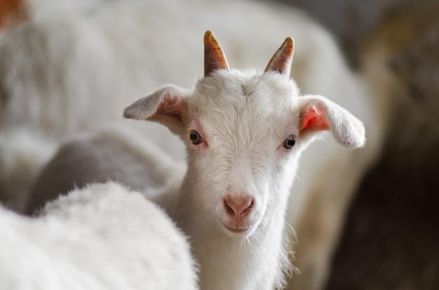 Białe kozy w stodole. kozy domowe w gospodarstwie. urocze białe kozy dla dzieci. małe kozy stojące w drewnianym schronieniu