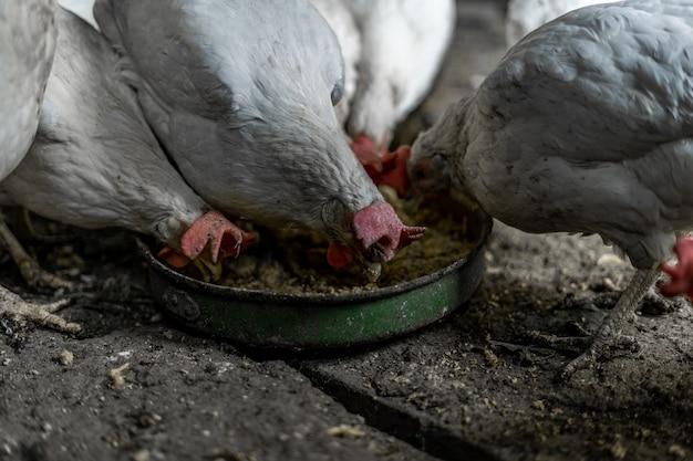Białe kurczaki z czerwonymi kępkami jedzą zboże z miski. kurczaki we wsi. trzymanie i karmienie kurcząt w domu