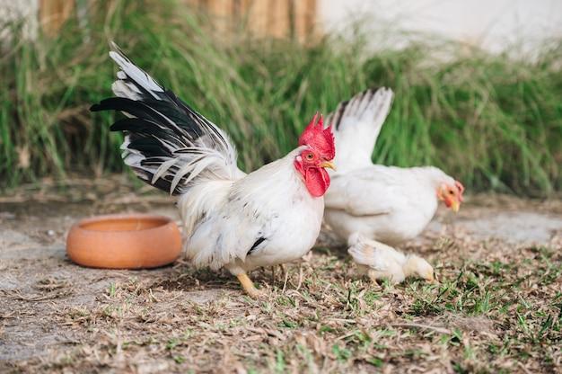 Białe kury i pisklę na wiejskim podwórku w gospodarstwie ekologicznym