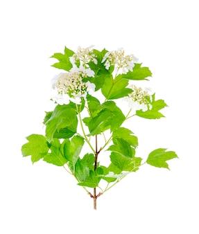 Białe kwiatostany kaliny z zielonymi liśćmi na białym tle.