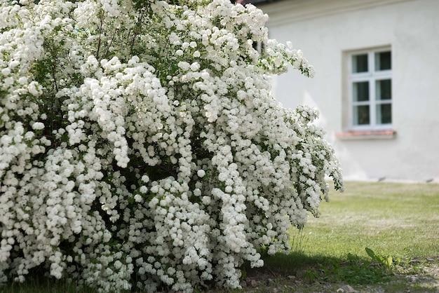 Białe kwiaty alpejskie spiraea kwitnące z trawą i białym domem w tle