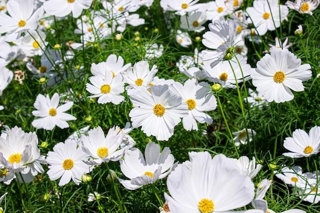 Białe kwiaty aster meksykański na tle zielonych liści