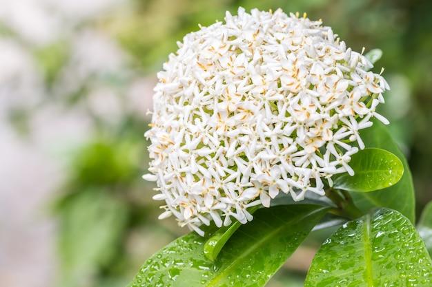 Białe kwiaty, biała syjamska ixora (ixora lucida r.br. ex hook.f.), z kropelkami wody.