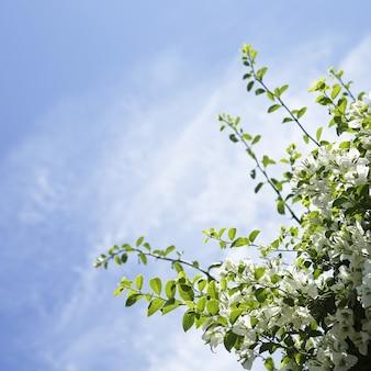 Białe kwiaty bugenwilli z copyspace błękitne niebo