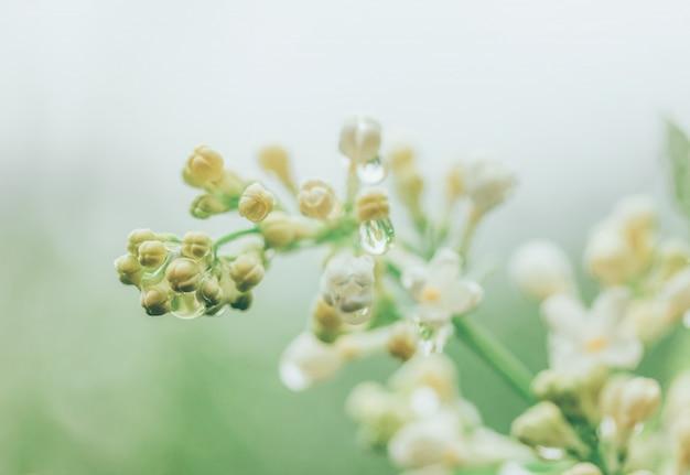 Białe kwiaty bzu w kroplach wody po deszczu wczesnym wiosennym rankiem
