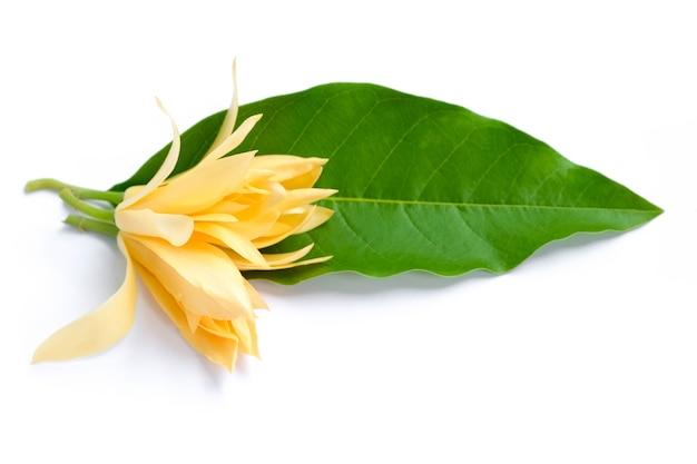 Białe kwiaty champaka i zielone liście.