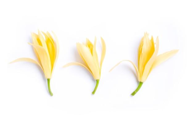 Białe kwiaty champaka.