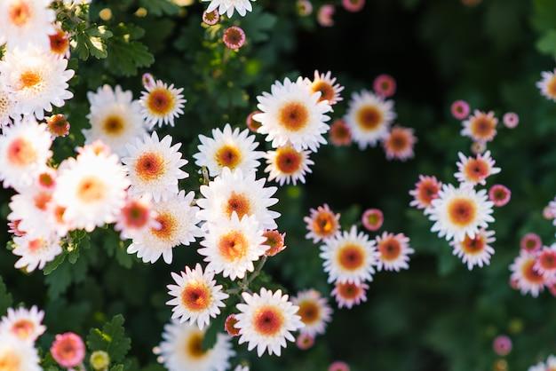 Białe kwiaty chryzantemy kwitną w jesiennym ogrodzie