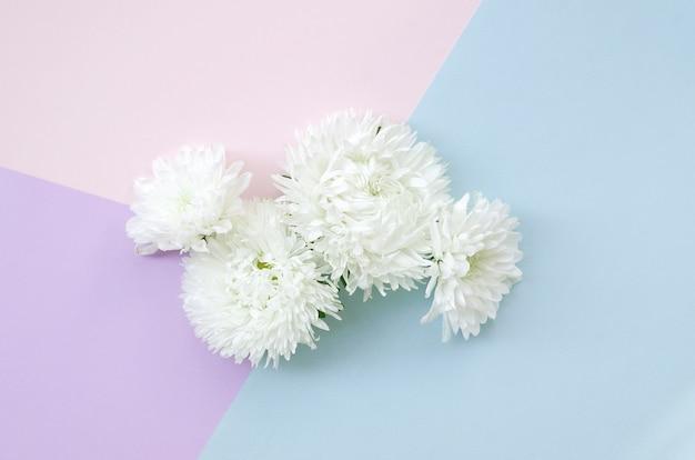 Białe kwiaty chryzantemy na pastelowy niebieski różowy i liliowy widok z góry ściany. minimalizm w stylu flat lay