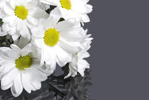 Białe kwiaty chryzantemy na szarym tle