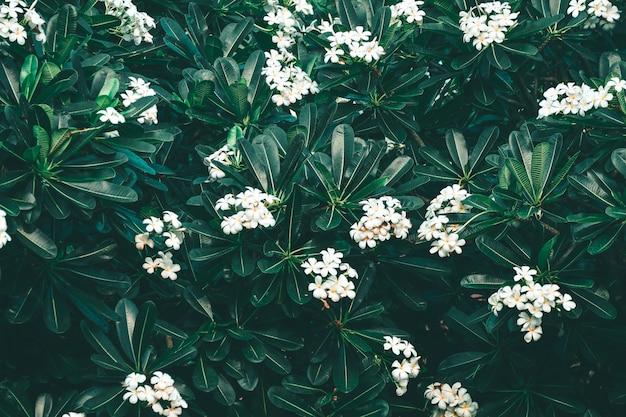 Białe kwiaty frangipani lub plumeria