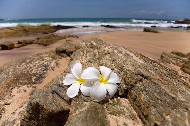 Białe kwiaty frangipani spa na szorstkich kamieniach