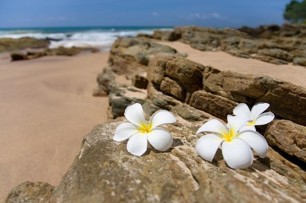 Białe kwiaty frangipani w pobliżu morza